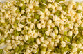 Soy sprouts full frame take of fesh bean Royalty Free Stock Image