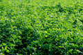 Soya field Royalty Free Stock Photo