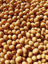 Soybean close up of soy beans separate on background Stock Image