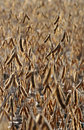Soybean Crop Royalty Free Stock Image