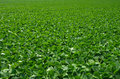 Soybean field a of clean soybeans Royalty Free Stock Photography