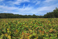 Soybean field landscape in late summer early autumn Stock Images