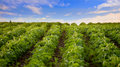 Soybean field, low angle view Royalty Free Stock Photo