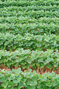 Soybean field rows Royalty Free Stock Photo