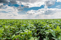 Soybean field rows in summer Royalty Free Stock Images