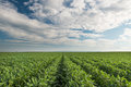 Soybean field rows in summer Stock Image