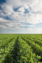 Soybean field rows in summer Stock Photography