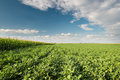 Soybean field rows in summer Royalty Free Stock Photography