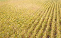 Soybean fields Royalty Free Stock Photos