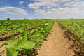 Soybean fields rows in summer season. Rows of young soybean Royalty Free Stock Photo