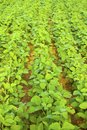 Soybean growth in the fields Stock Image