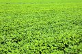 Soybean growth in the fields Stock Photos