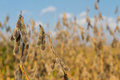 Soybean Harvest Time Royalty Free Stock Photo