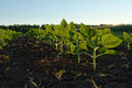Soybean plants Stock Photo