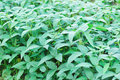 Soybean plants Stock Images