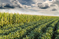 Soybean ripening next to corn maize field at spring season, agricultural landscape. Royalty Free Stock Photo