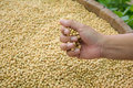 Soybean seed is ready to expand into the federation or the produ production processing Stock Image