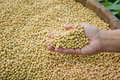 Soybean seed is ready to expand into the federation or the produ production processing Royalty Free Stock Photography