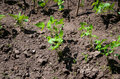 Soybean seedling in the earth Royalty Free Stock Photos