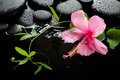 Spa concept of blooming pink hibiscus green tendril passionflower and zen stones with drops on ripple reflection water closeup Stock Image