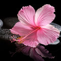 Spa concept of blooming pink hibiscus on zen stones with drops reflection in water closeup Stock Image