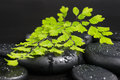 Spa concept with green branch of maidenhair and zen stones drops Stock Photos