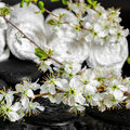 Spa concept of zen stones, blooming twig plum, white towels, clo Royalty Free Stock Photo