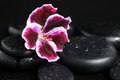 Spa still life with beautiful deep purple flower and zen stones drops on black background Royalty Free Stock Photo