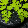 Spa still life of green branch maidenhair and black zen stones Royalty Free Stock Photo