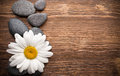 Spa stones balanced with camomile flower and wooden background Royalty Free Stock Photos