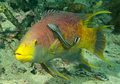 Spaanse hogfish en sharksucker Royalty-vrije Stock Fotografie