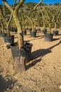 Spade in a olive tree nursery leaning against trunk Stock Photography