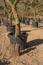 Spade in a tree nursery leaning against trunk Royalty Free Stock Photography