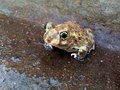 Spadefoot Toad 1 Royalty Free Stock Photo