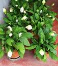 Spadix white in pot flower Royalty Free Stock Photo