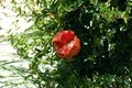 Split ripe pomegrante on a tree, Spain. Royalty Free Stock Photo