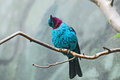 Spangled cotinga bird found in the canopy of the amazon rainforest in south america turquoise blue with a large deep wine red Stock Photo