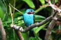 Spangled cotinga blue tropical bird Cotinga cayana Royalty Free Stock Photo