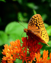 Spangled fritilary close up of side view great butterfly feeding from an orange butterfly bush flower Stock Images