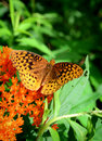 Spangled fritilary a great butterfly resting on an orange butterfly bush flower Stock Images