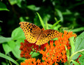 Spangled fritilary a great butterfly resting on an orange butterfly bush flower Royalty Free Stock Image