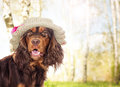 Spaniel dog in a hat Royalty Free Stock Photo
