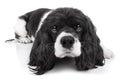 Spaniel Dog Isolated