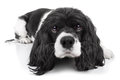 Spaniel Dog Isolated Royalty Free Stock Photo