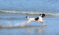 Spaniel dog playing in the sea a black and white type running through water chasing a ball Stock Photos