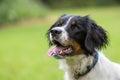 Spaniel Dog Royalty Free Stock Photo