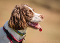 Spaniel dog with tongue out Royalty Free Stock Photo