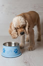 Spaniel eating dog food from his bowl Royalty Free Stock Photo