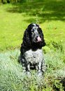 Spaniel lying in the pinks Royalty Free Stock Photo