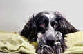 Spaniel sad looking at camera with her head resting on his paws